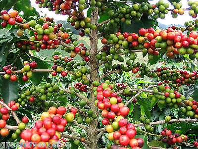 10 lbs. Colombian Supremo Valle de Cauca Estate Raw Unroasted Green Coffee Beans Java Estate Green Coffee