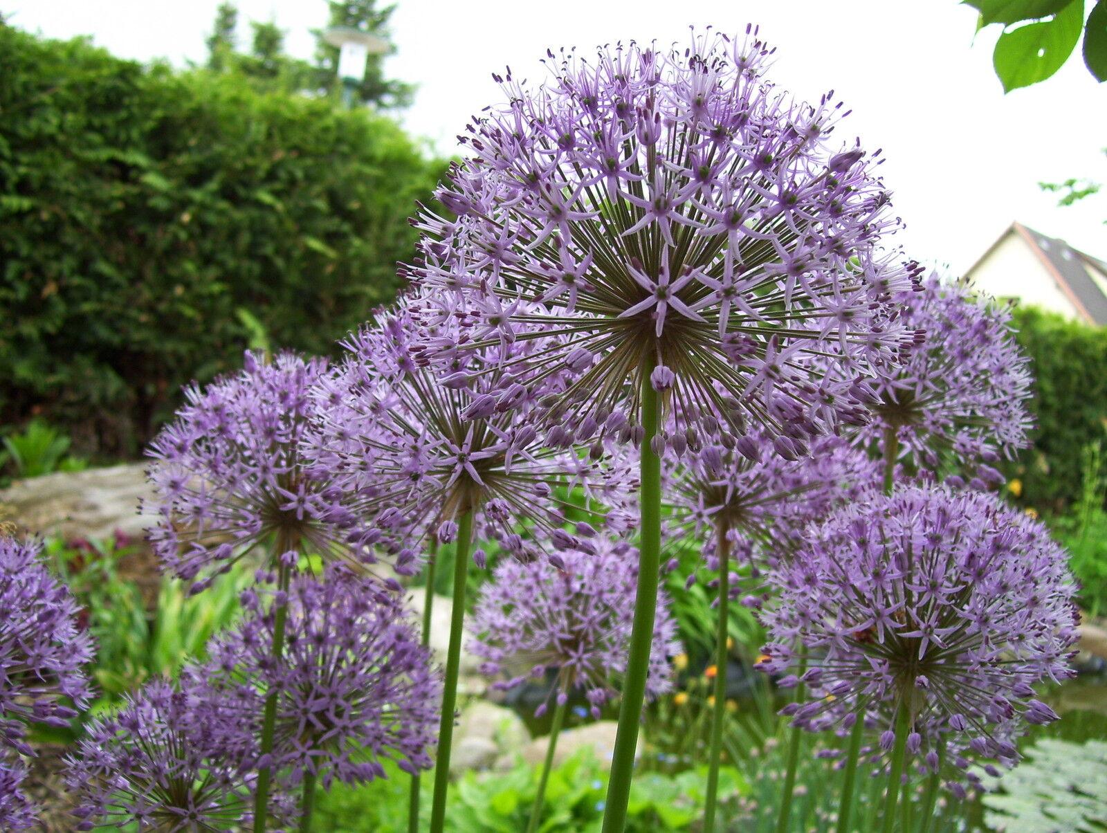 30 samen allium kugellauch zierlauch lila bl ten ca 15 20cm naturgarten eur 1 00. Black Bedroom Furniture Sets. Home Design Ideas