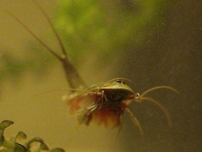 Carapaxkrebse Aquariumdeko besondere Deko Zubehör für das Terrarium zum Aquarium
