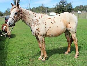 15hh and 5 years old appy gelding Tingha Guyra Area Preview