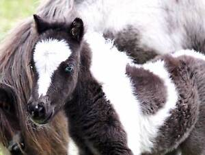 BABY MINIATURE FOAL PINTO FILLY  Payment Plan $212.50 a Week Margaret River Margaret River Area Preview