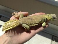 Looking For A Uromastyx Lizard