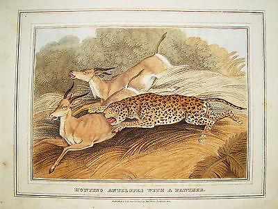 Antilopenjagd mit Panther Jagd  altkolorierter Kupferstich in Aquatinta 1813 nr2