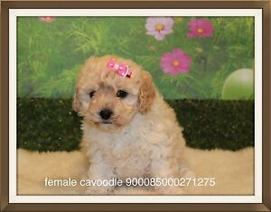 Cavoodle puppies Inverell Inverell Area Preview