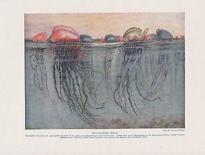 Portugiesische Galeere Physalia physalis FARBDRUCK von 1912 Quallen Jellyfish