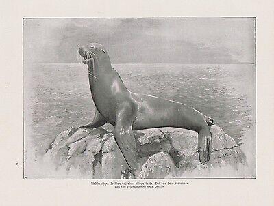 Kalifornischer Seelöwe Bai von San Francisco DRUCK von 1912