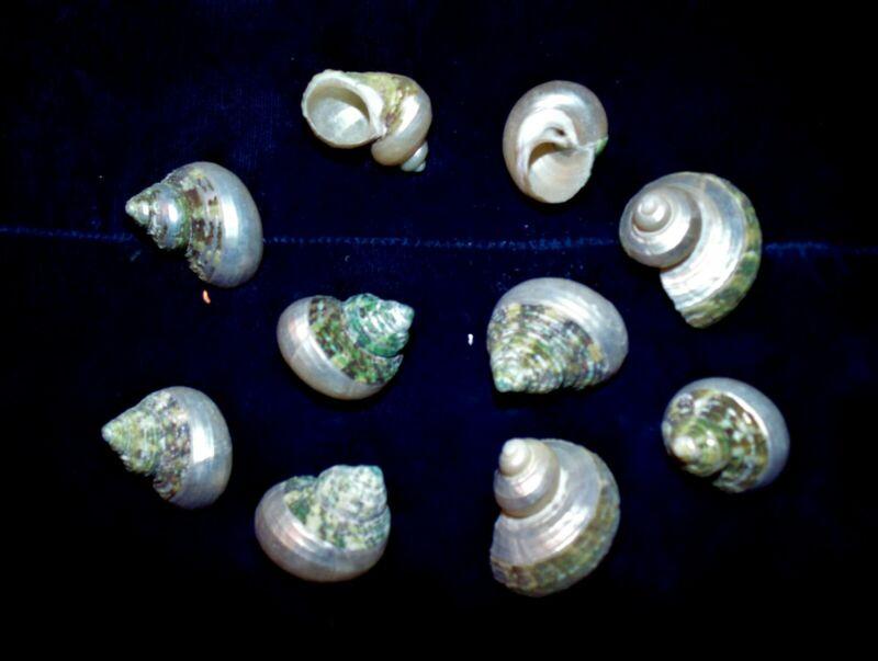 "TEN (10) TURBO BRUNNEUS COMBO NATURAL & PEARL SEA SHELLS 1-1/4 to 1-3/4"""