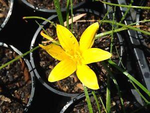 Golden Rain Lilies Terrigal Gosford Area Preview