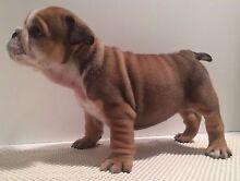 British Bulldog puppies Greenvale Hume Area Preview