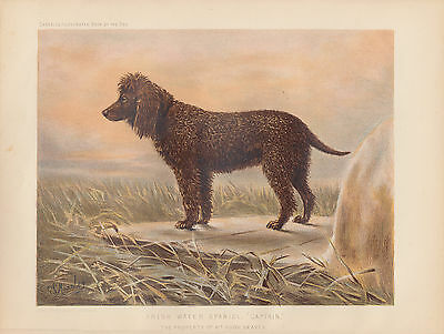 EARLY IRISH WATER SPANIEL DOG  ART PRINT ANTIQUE DOG LITHOGRAPH - Water Spaniel Dog Art