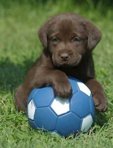 Labrador puppy, <10 weeks old Melbourne CBD Melbourne City Preview