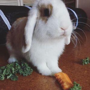 Mini lop doe - loving pet rabbit Doncaster East Manningham Area Preview