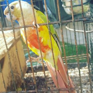 Pineapple conure with cage and stand Mermaid Waters Gold Coast City Preview