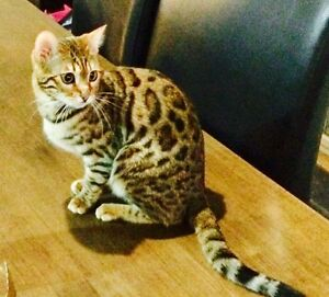 Pure Bred Female Bengal Cat registered Queen For Sale Mickleham Hume Area Preview