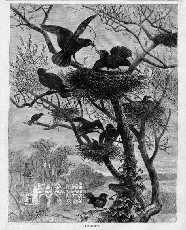 CROWS NEST ROOKS REBUILDING NESTS BIRDS ORNITHOLOGY ROOKERY BREEDING CROW COLONY
