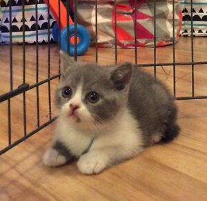 British Shorthair Kittens Blackstone Heights Meander Valley Preview
