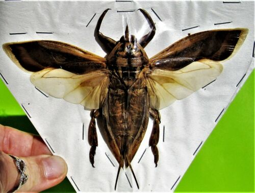 Rare True Bug Lethocerus indicus Hemiptera Insect Spread FAST FROM USA