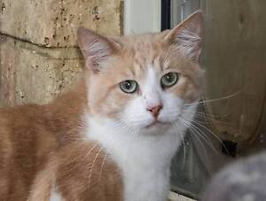 AC0449 : Champ - CAT for ADOPTION - Vet Work Included Clarkson Wanneroo Area Preview