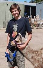 Llama walks,  single's, couples, group bookings available Lyndoch Barossa Area Preview