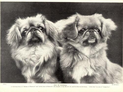 1930s Antique PEKINGESE Dog Print Little Joke & Madam of Winwood Kennels 3329-C
