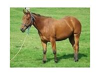 2 Year Old Quarter Horse Filly