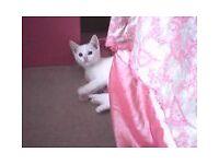 Adorable White Bengal X Male Kitten! Show Stopper!