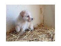STUNNING LITTER OF LAKELAND TERRIER X POODLE PUPPIES
