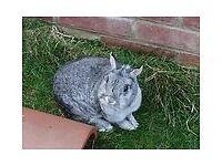Purebred Baby Netherland Dwarf Rabbit[Buck]