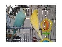 MISSING Budgie, blue/green color, London, Willesden Junction area