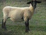 SHEEP BLACK FACED SUFFOLK EWES The Oaks Wollondilly Area Preview