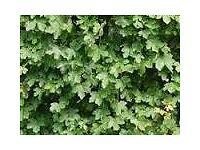 Acer Maple Garden Hedgeing (Acer campestre)