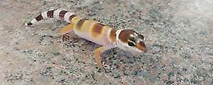 Gecko de phase hybino, possible sunglow (reptile)