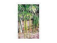 Bamboo Plant Phyllostachys dulcis 10 litre
