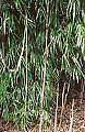 Bamboo Plant Yushania maculata 5 litre