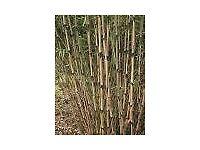 Bamboo Plant Fargesia rufa 5 litre