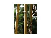 Bamboo Plant Phyllostachys aurea 10 litre