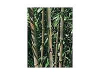 Bamboo Plant Phyllostachys nigra 'Henonis' 20 litre