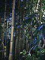 Bamboo Plant Phyllostachys aureosulcata 'Spectabilis' 20 litre