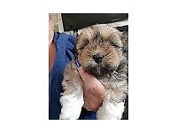 2 Male Lhasa Apso Pups for Sale