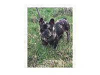 Merl Triple carrier French bulldog male for sale
