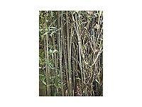 Bamboo Plant Phyllostachys nigra 'Henonis' 10 litre