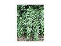 Bamboo Plant Fargesia denudata 5 litre