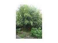 Bamboo Plant Phllostachys bissetii 10 litre