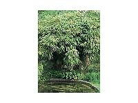 Bamboo Plant Pseudosasa japonica 5 litre