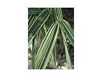 Bamboo Plant X Hibanobambusa tranquillans 'Shiroshima'