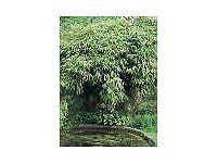 Bamboo Plant Pseudosasa japonica 10 litre