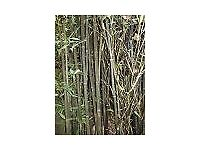 Bamboo Plant Phyllostachys nigra 10 litre