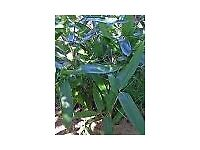 Bamboo Plant Indocalamus hamadae 5 litre