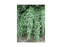 Bamboo Plant Fargesia denudata 10 litre