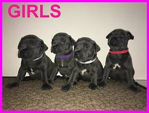 PUREBRED BLUE ENGLISH STAFFY PUPS FOR SALE Campbelltown Campbelltown Area Preview